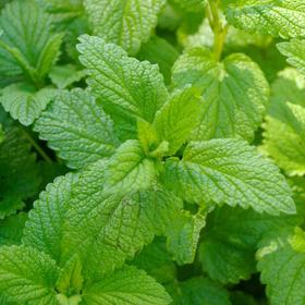 香蜂草纯露 补水抗老化 消炎镇静过敏 晒后修复 提升免疫力 调理消化不良 英国