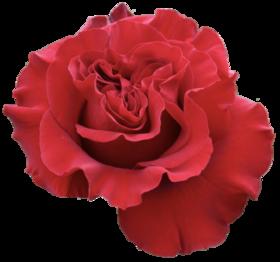 【菲集】花园玫瑰 hearts 红心 厄瓜多尔农场直供 进口鲜切花