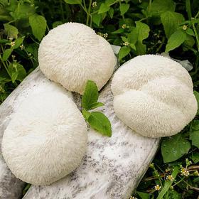 【福建·古田 新鲜猴头菇】5朵装 【单个约110-130g】
