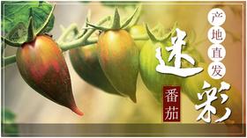 迷彩番茄   原生态种植  通体暗红 黄绿三色 富含番茄红素和维生素C 果味沙甜 美容养颜之上品