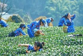 独家   蒙顶山采茶节,仅需39.9元免费采摘炒制可带走,还送树冠漫步与茶博物馆体验!