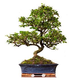 【绿居植物】福建茶弯曲(大)  石景盆栽 室内小绿植花卉盆景 办公室植物