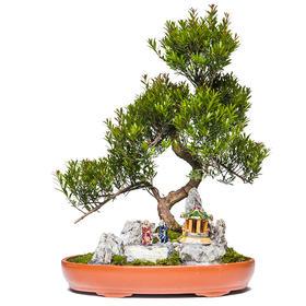【绿居植物】红杨石景盆栽 室内小绿植花卉盆景 办公室植物