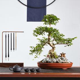 【绿居植物】山紫甲石景盆栽 室内小绿植花卉盆景 办公室植物