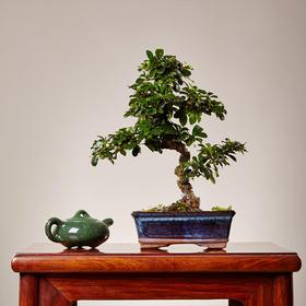 【绿居植物】福建茶弯曲(小)  石景盆栽 室内小绿植花卉盆景 办公室植物