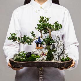【绿居植物】水横枝石景盆栽 室内小绿植花卉盆景 办公室植物