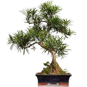 【绿居植物】罗汉松弯曲(大)  石景盆栽 室内小绿植花卉盆景 办公室植物