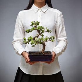 【绿居植物】金枝玉叶弯曲(小)石景盆栽 室内小绿植花卉盆景 办公室植物