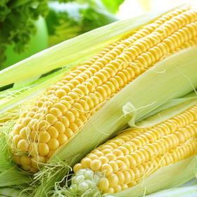 一口爆浆鲜嫩多汁 口感脆甜,超好吃云南水果玉米,可生吃的玉米A