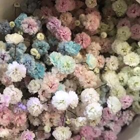 【菲集】厄瓜多尔农场直供 满天星大花 染色满天星/七彩星 混搭 团购 拼团