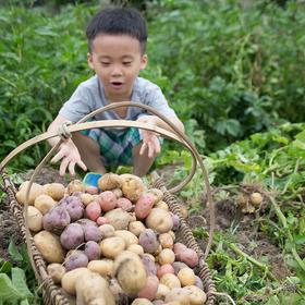 谦益传统黄皮小土豆 现挖现发  未使用农药化肥非转基因 大别山区虚心谷种植