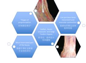 【广州Level2 Luca】2020年7月6~11日意大利筋膜手法认证课程