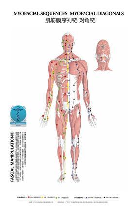 【筋膜挂图】高清标示:6条CC筋膜链 +4条CF对角螺旋链