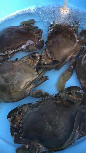 大公蟹152元/斤、约1.4斤/只