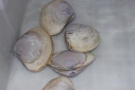 贵妃蚌-今天每斤19元/每粒约0.5斤