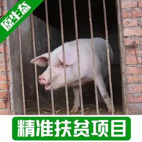 【新庙村】预售整头土猪200-250斤预计11月出栏