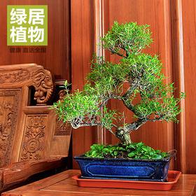 绿居植物满天星六月雪大盆景 室内绿植花卉盆栽植物送礼年货礼品