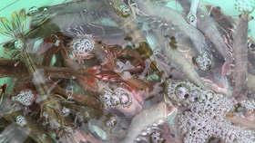 中白虾-今天每斤51元/每斤30只左右