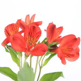 【菲集】埃塞俄比亚农场直供六出花/水仙百合 红色 进口鲜花