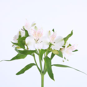 【菲集】埃塞俄比亚农场直供六出花/水仙百合 白色 进口鲜花
