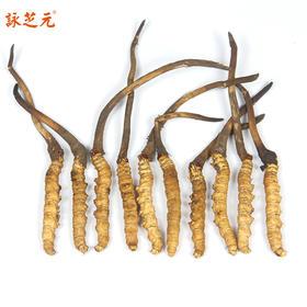 咏芝元2019年头茬新鲜冬虫夏草,10根/袋,买10袋送1袋
