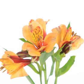 【菲集】埃塞俄比亚农场直供六出花/水仙百合 橘色 进口鲜花