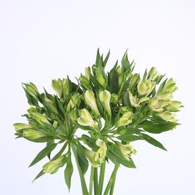 【菲集】埃塞俄比亚农场直供六出花/水仙百合 绿色 进口鲜花