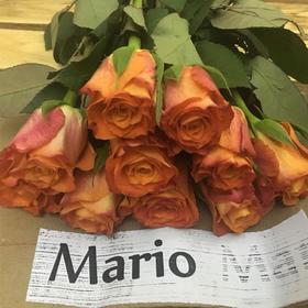 【菲集】埃塞俄比亚农场直供 玫瑰花 Mario 进口鲜花 鲜切花