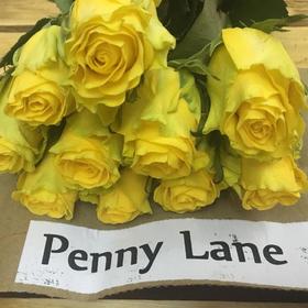 【菲集】埃塞俄比亚农场直供 玫瑰花 Penny Lane 进口鲜花 鲜切花