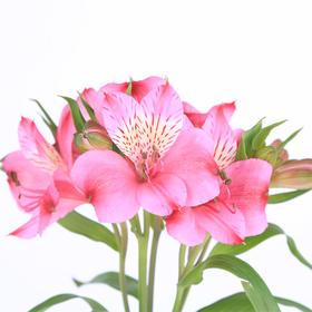 【菲集】埃塞俄比亚农场直供六出花/水仙百合 粉色 进口鲜花