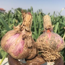 山东百万吨紫皮大蒜  出口欧盟、日本品质 家庭必备食材 春季祛寒抗病