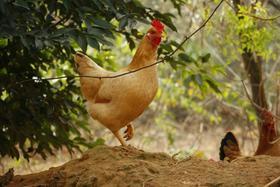 生态河田小母鸡(150-180天)2.8-3.2斤毛重