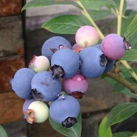 四川大邑县蓝莓奥尼尔新鲜蓝莓