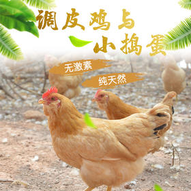 【富含氨基酸 无激素走地鸡】调皮鸡2.3斤/只 小捣蛋30枚 自然生长