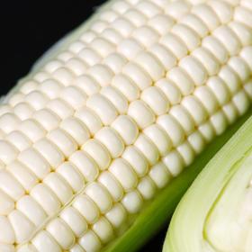 【福建漳州水果玉米】源于宝岛台湾 高端水果玉米能生吃 比西瓜甜 比牛奶营养价值高 汁多 皮薄 甜脆 非转基因玉米 79元6根 顺丰包邮