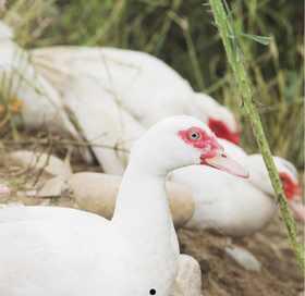 徽名山番鸭一只四斤左右,需要提前一周预定,周一周四到货。