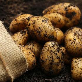 昭通高山黄心土豆 原生态种植远离污染 鲜香甜糯
