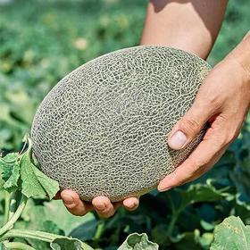 【新疆哈密瓜】2个瓜装 /7斤左右  产地直发