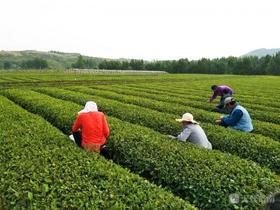 【特惠】圣园春2019年日照绿茶优惠第一波!75元一斤!