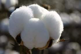 恰去黄湾钱江村种棉花 一年只需这个价
