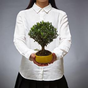 绿居植物黄杨小盆景 室内绿植花卉盆栽植物 送礼礼品