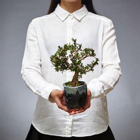 绿居植物黄杨微造型盆景室内绿植盆栽办公室家居植物送礼年货精品