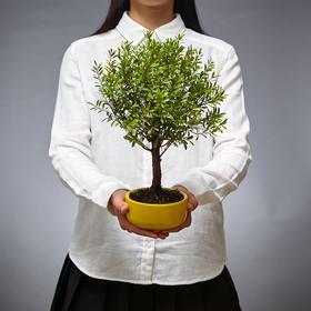 绿居植物红杨小盆景 室内绿植花卉盆栽办公室植物 送礼年货礼品