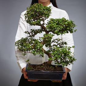 绿居植物茶花大盆景盆栽 室内绿植花卉 办公室植物 送礼年货礼品