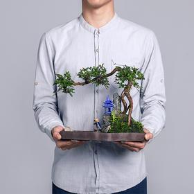绿居植物榆树造型盆景盆栽室内绿植花卉办公室植物送礼年货礼品