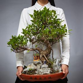 绿居植物榕树造型盆景盆栽室内绿植花卉阳台办公室植物 送礼礼品