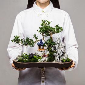 绿居植物水横枝造型盆景 室内绿植花卉办公室植物 送礼年货礼品