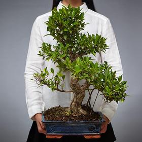 绿居植物榕树盆栽大盆景室内家居绿植花卉办公室植物送礼礼品