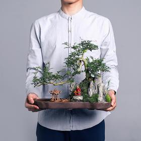 绿居植物白蜡造型盆景盆栽 室内绿植花卉办公室植物送礼年货礼品