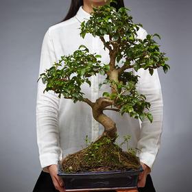 绿居植物山紫甲盆栽大盆景 室内绿植花卉办公室植物 送礼年货礼品